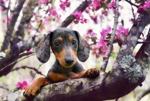 teckel printemps